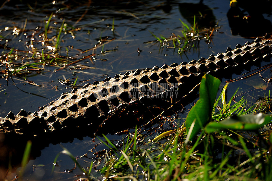 Alligator wildlife gator swamp florida west palm beach water reptile nature