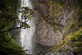 NEW ZEALAND, Arthurs Pass,Tree in Front of Devils Punchbowl Waterfall, Ben M Thomas
