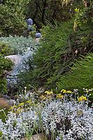 Eriogonum crocatum. Conejo Buckwheat; gray foliage perennial flowering in California native plant garden; Vincent Garden