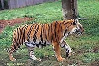 MA40-018z  Bengal Tiger - Panthera tigris