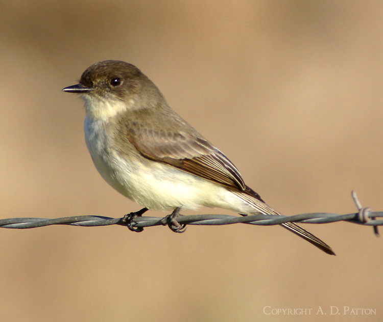 Adult eastern phoebe