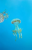 435550016 spotted jellyfish mastigias papua float and swim in their enclosure at the long beach aquarium in long beach california - species is native to the southwestern indo-pacific ocean especially the ocean around palau