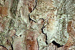 Bark of Red Pine, Pinus resinosa