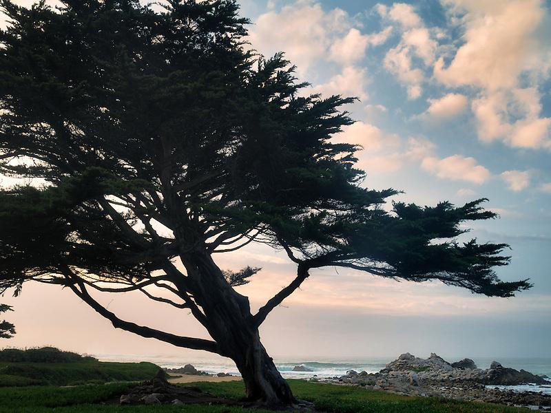 Cyprus tree and ocean. Pacific Grove, California