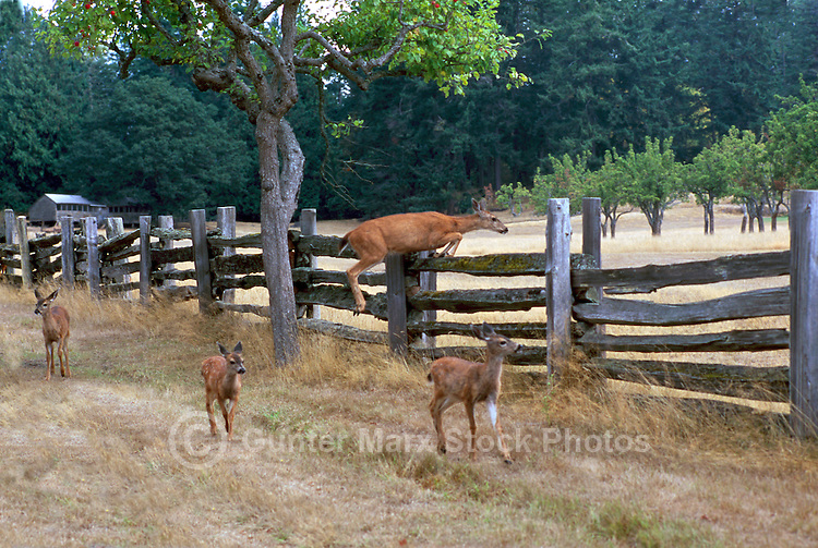 Black-tailed (Blacktail) Deer Doe and Fawns (Odocoileus columbianus) running along Country Lane on Saltspring (Salt Spring) Island, Southern Gulf Islands, BC, British Columbia, Canada