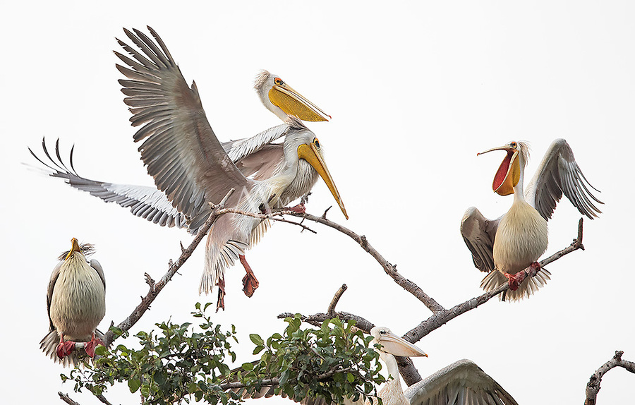 A flock of Great white pelicans was roosting in a tree near the entrance of Lake Manyara National Park.