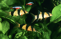 Prachtschmerle, Pracht-Schmerle, Chromobotia macracanthus, Botia macracanthus, Botia macracantha, clown loach, tiger botia, botia, botia clown, loche-clown