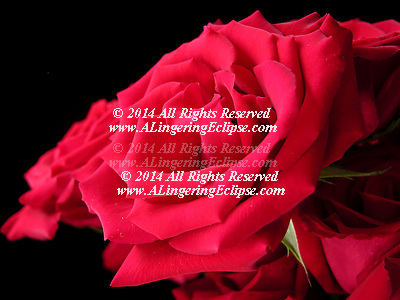 """Quotes..In the driest whitest stretch of pain's infinite desert, I lost my sanity and found this rose. ? Rumi ..What's in a name? That which we call a rose/By any other name would smell as sweet. ? William Shakespeare, Romeo and Juliet act II, sc. ii ..O, my love's like a red, red rose/That's newly sprung in June ? Robert Burns, A Red, Red Rose ..Hearts starve as well as bodies; give us bread, but give us roses. ? James Oppenheim, """"Bread and Roses"""" ..Rose is a rose is a rose is a rose ? Gertrude Stein, Sacred Emily (1913), a poem included in Geography and Plays. ..Arise, arise, arouse, a rose! ? Eh, a rosy nose? ? Jeremy Hilary Boob, Ph.D. (more commonly referred to as the 'Nowhere Man'), Yellow Submarine (film) ..A name is a rose, and it only smells as sweet as you are. -The Tick"""