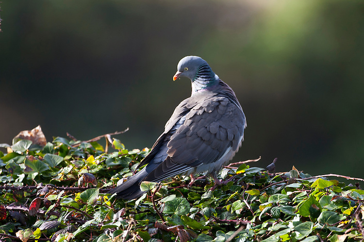 Wood pigeon bird, Columba palumbus, at Woolacombe, North Devon, UK