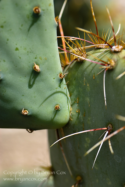 Prickly pear cactus (opuntia), Arizona