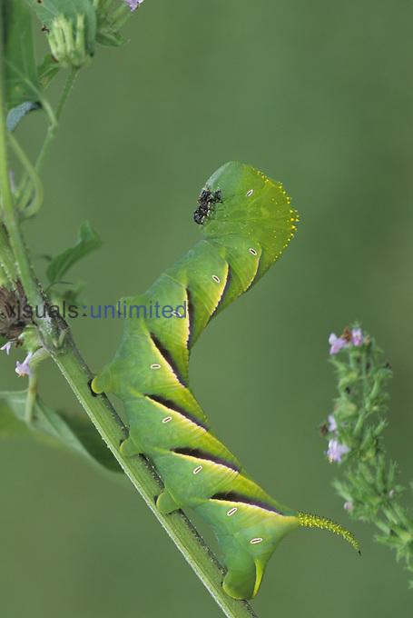Larva of the Rustic Spinx Moth (Manduca rustica), Florida.