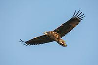 Egyptian Vulture - Neophron percnopterus - juvenile