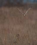 Short-eared Owl flying over a Missouri prairie