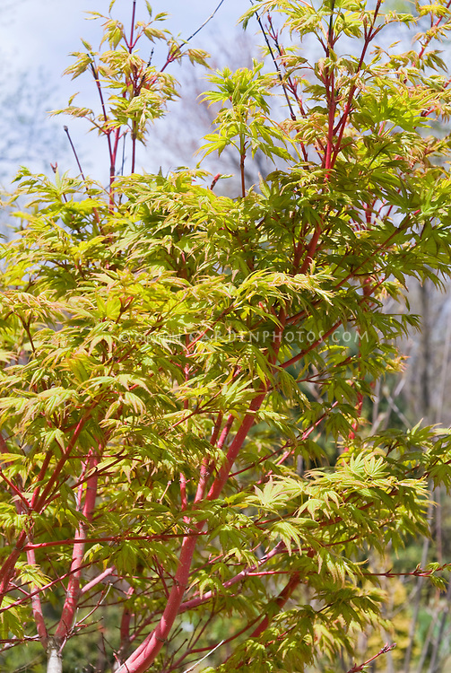 acer palmatum sango kaku plant flower stock photography. Black Bedroom Furniture Sets. Home Design Ideas