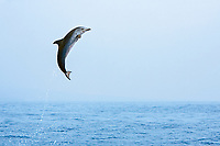 Pantropical Spotted Dolphin calf, leaping, Stenella attenuata, off Kona Coast, Big Island, Hawaii, Pacific Ocean