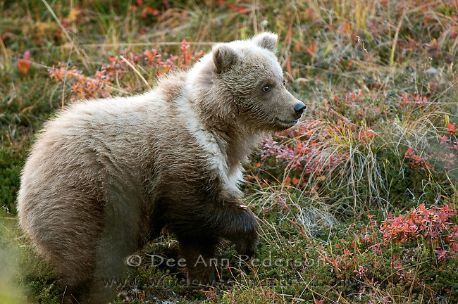 Spring grizzly cub eating blueberries from the tundra pauses to insure he knows where his mother is; Denali National Park.