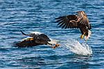 Japan, Hokkaido, Steller's sea eagle and white-tailed eagle flying over ocean