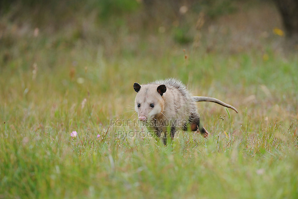 Virginia Opossum (Didelphis virginiana), adult running, Fennessey Ranch, Refugio, Coastal Bend, Texas Coast, USA