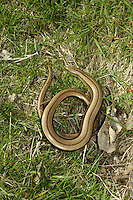 Slow-worm Anguis fragilis Length 30-40cm Legless lizard. Hibernates Oct-Mar. Length comprises 50-60% tail but this can be shed in dire distress. Female gives birth to live young. Sexes are similar. Adult male has slender, shiny body and no discernible 'neck'. Male is usually coppery brown or greyish brown, sometimes with darker markings on head. Adult female is similar but with a thin, dark vertebral stripe along back (may end in faint 'v' at anterior end) and broken black line on flanks. Belly is marbled bluish and some animals have blue spots on sides. Juvenile has golden or silvery back with thin, dark vertebral stripe and dark flanks. Favours sunny, open habitats with areas of grass and bramble.