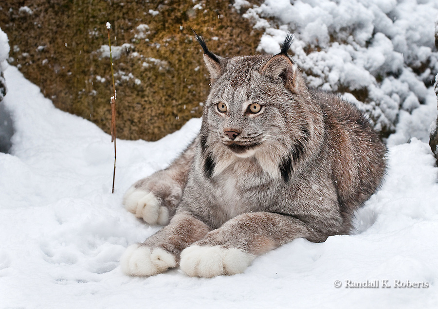 Lynx (captive), north of Haines, Alaska