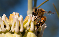 A honeybee gets nectar from a desert milkweed ([Asclepias subulata]), seen in a closeup.