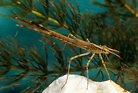 Gebänderte Prachtlibelle, Pracht-Libelle, Larve, Nymphe, Calopteryx splendens, Agrion splendens, banded blackwings, banded agrion, larva, larvae