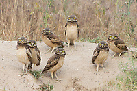 Seven Burrowing Owls stand tentatively outside of their nest burrow. (Idaho)