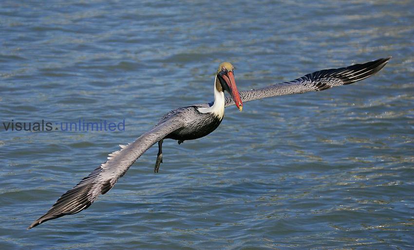 Brown Pelican in flight, Florida, USA