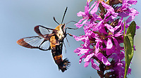 Snowberry Clearwing; Hemaris diffinis; feeding at Purple Loosestrife; NJ, Salem Co., Salem River