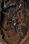 Tarantula, Horned Baboon Spider, Ceratogyrus bechuanicus, on wood with web, Botswana, female.Africa....