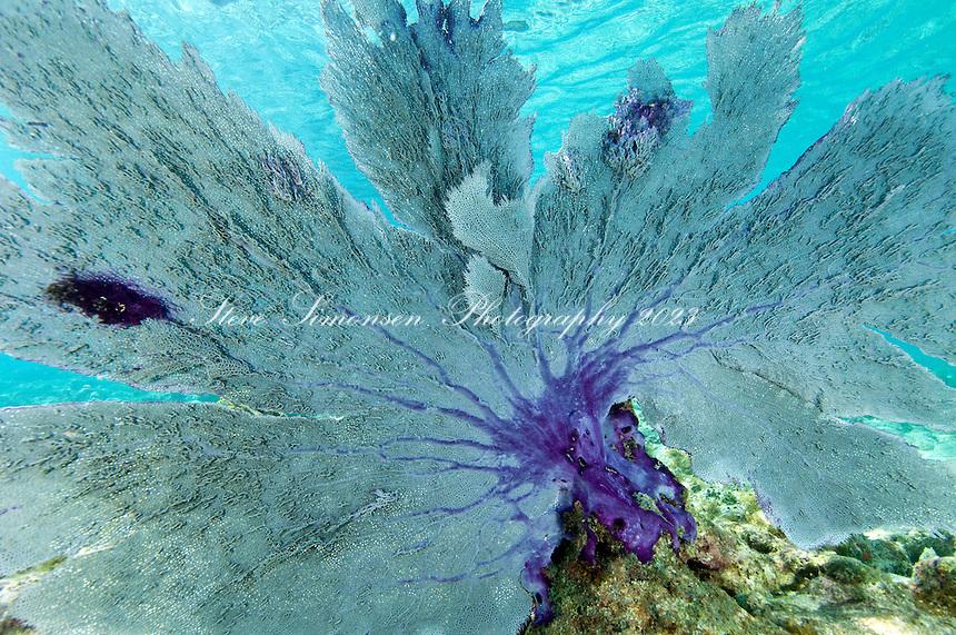 Venus Sea Fan (Gorgonia flabellum)<br /> Leinster Bay, St John.Virgin Islands National Park.Underwater scenes