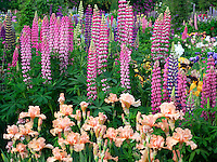 Lupines and iris at Schreiner's  iris Gardens. Brooks, Oregon