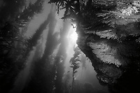 black and white composition Light in the Forest, kelp forest, Catalina, California, USA, Pacific Ocean