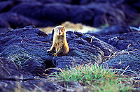 A mongoose, common to the Hawaiian islands, peers out from a hole in the lava on the Big Island of Hawaii.