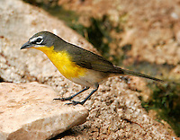Yellow-breasted chat adult male on rock side view