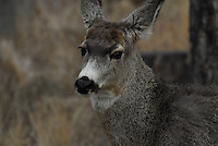 Mule deer yearling.