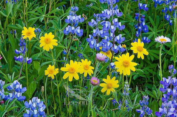Wildflowers--mostly lupine, mountain daisy/fleabane and arnica--in subalpine meadow, Central Cascade Mountain Range, WA.  Summer.