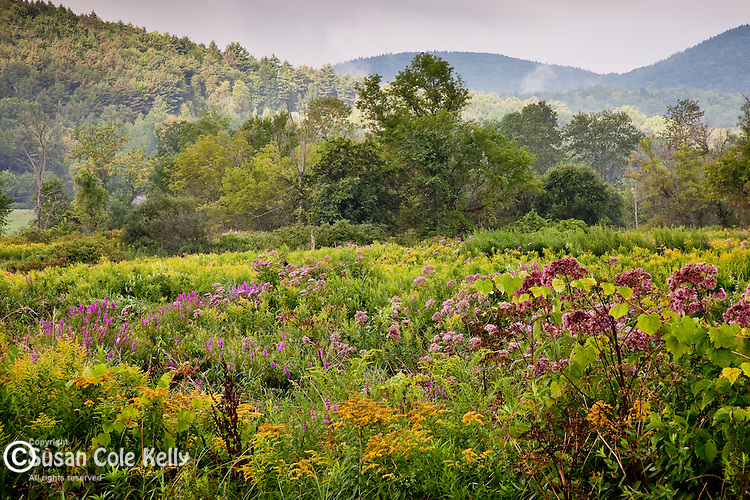 Wildflower meadow, Hop Brook Wildlife Management Area in Tyringham, the Berkshires, MA, USA