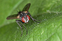 Raupenfliege, Portrait, Porträt mit Auge, Augen, Facettenauge, Facettenaugen, Tachinidae, Raupenfliegen, Schmarotzerfliegen, Tachinidae, tachinid fly, tachinids, parasitic flies, tachina flies
