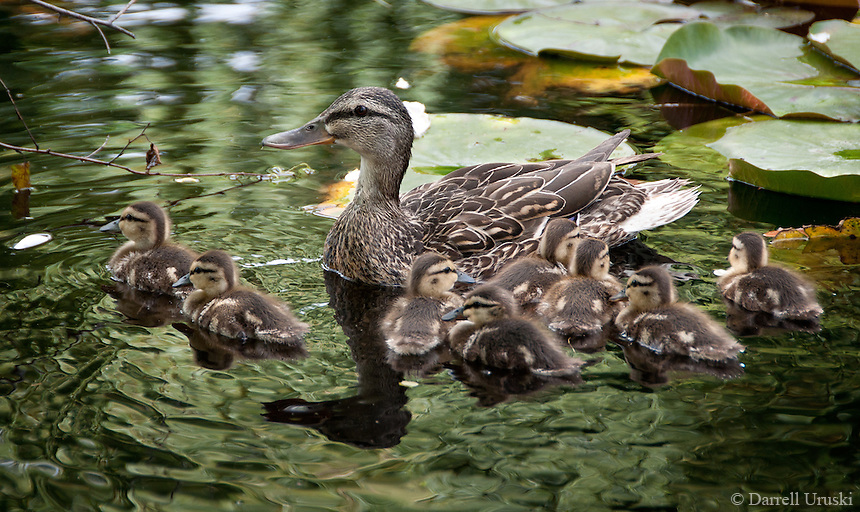 A beautiful photo of a mother duck swimming with her chicks huddled closely beside her.