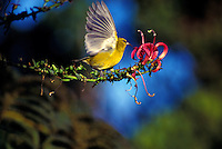 Native honeycreeper,  Amakihi