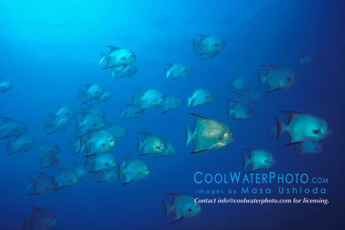 schooling Atlantic spadefish, Chaetodipterus faber, Benwood ship wreck, Key Largo, Florida Keys National Marine Sanctuary, Atlantic Ocean.
