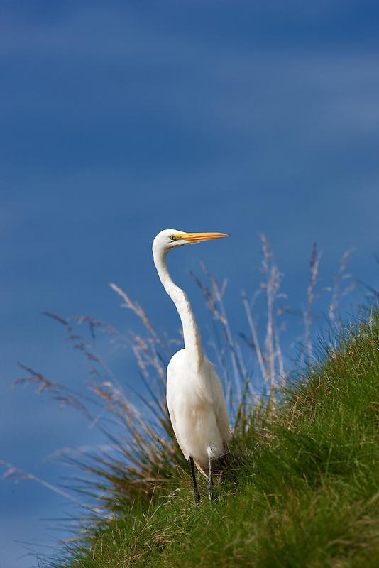 Great Egret (Ardea alba) on grassy slope. Near Napa Valley, California