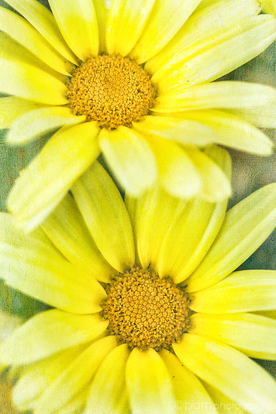 Textured image of two yellow daisies