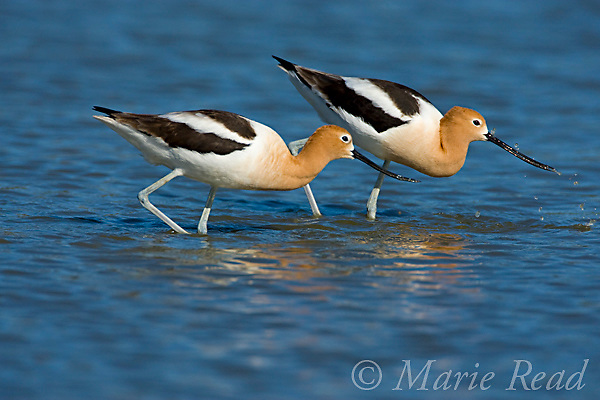 American Avocets (Recurvirostra americana), pair foraging, Orange County, California, USA