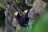 Tufted Puffin (Fratercula cirrhata) on cliff above Pacific Ocean.  Northwest coast of North America.  Summer.