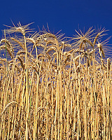 Wheat stalks towering towards sky in Yamhill County, Oregon