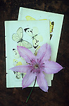 Pale purple flower of Clematis Hagley hybrid lying on two pages of hand illustrations of butterflies