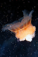 lion?s mane jelly, juvenile (c), .Cyanea capillata, grows up to 8 ft. in .diameter and its tentacles can reach 100 ft..California (E. Pacific).
