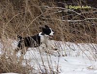 SH25-778z English Springer Spaniel Dog running